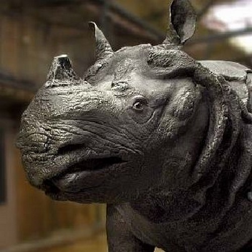 Rhinocéros_de_Louis_XV